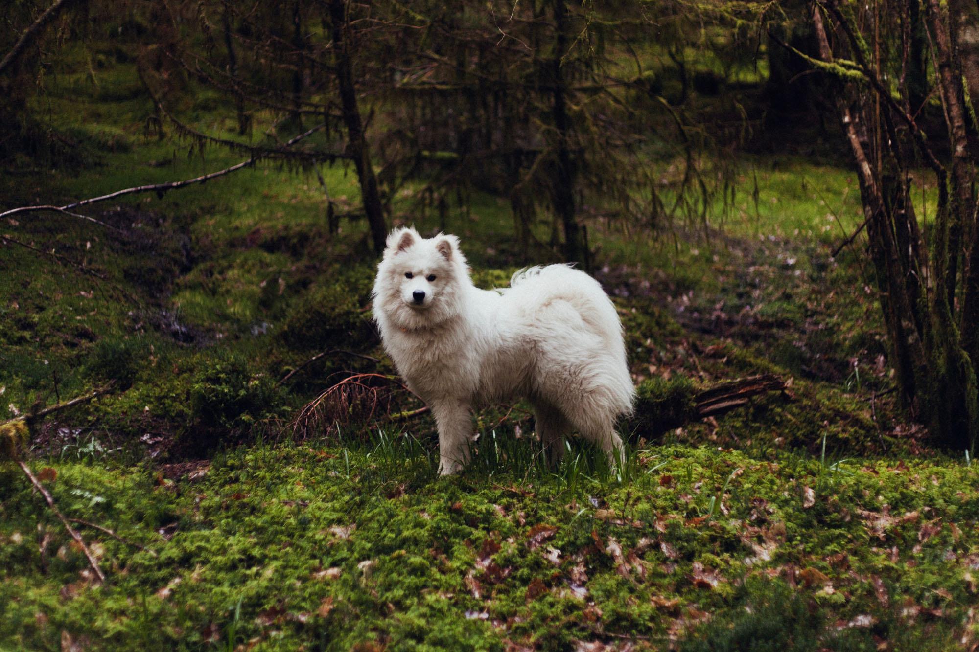 Forever Dogs - Buckeye Samoyed Rescue
